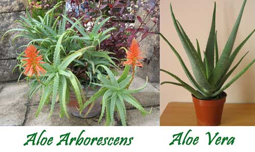 Aloe Arborescens Aloe vera differenze