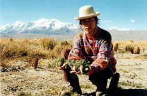 maca peruviana