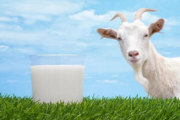 Il latte di capra contiene lattosio